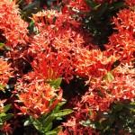 石垣島でよく見る名もなき赤い花